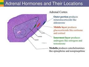 testosterone is produced by what endocrine gland picture 12