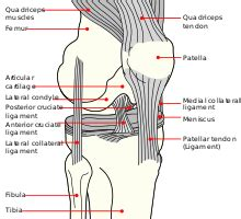 diagram of knee joint plavic band picture 9