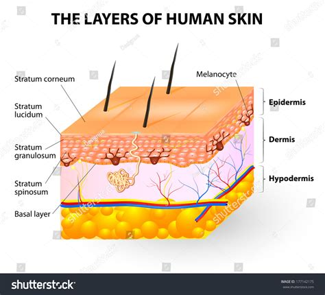 free illustrations of human skin picture 1