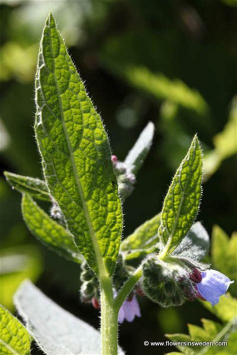 growing comfrey philippines picture 3