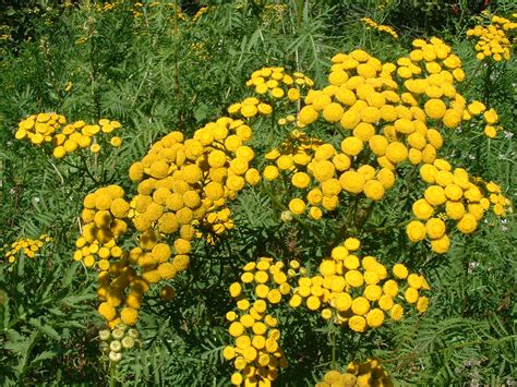 yarrow and herpes picture 11