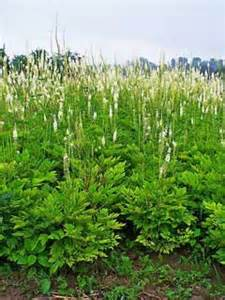 uses of black cohosh picture 5