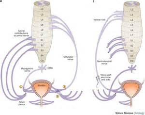 bladder functions picture 19