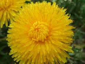 dandelion picture 14