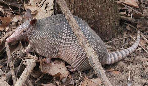 armadillo diet picture 2