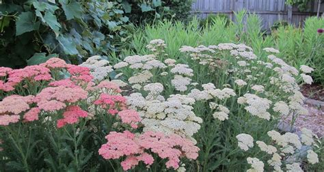 care of yarrow picture 5