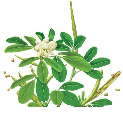 fenugreek trigonella foenum-graecum picture 2