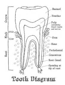 diagram of teeth picture 9