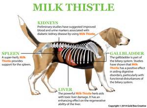 milk thistle for diabetes picture 7