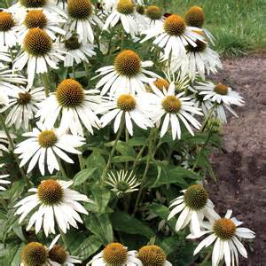 echinacea seeds picture 3