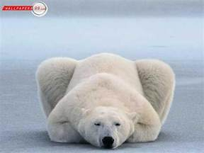 polar bear h picture 7
