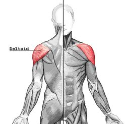 deltoid muscle picture 2