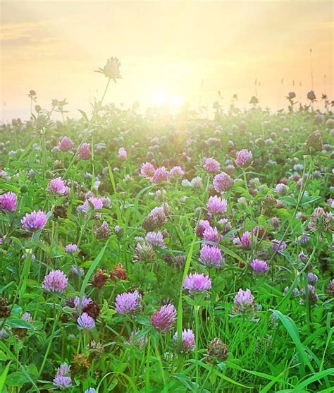 how to raise red clover for green manure picture 10