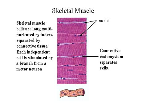 are smooth muscle multinucleated picture 7