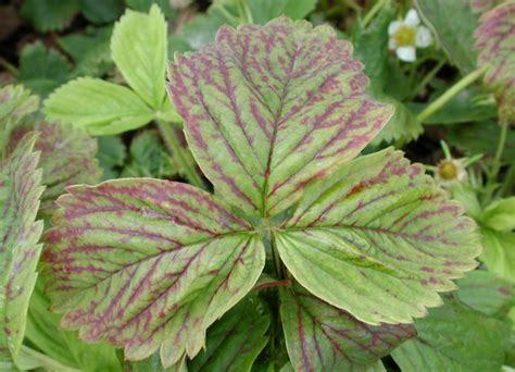 red raspberry leaf picture 7