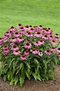 echinacea purpurea picture 1