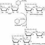 ADP-ribosyltransferase