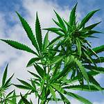 Cannabis dispensaries in the United States