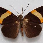 Celaenorrhinus