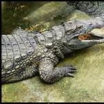 Crocodylidae