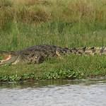 Crocodyloidea