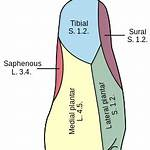 Lateral calcaneal branches of sural nerve