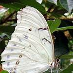 List of butterflies of North America (Nymphalidae)