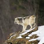 Northern Rocky Mountain wolf
