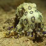 Octopuss