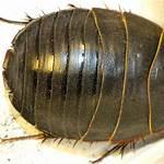 Polyphaga