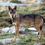 Southern Rocky Mountain wolf