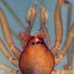 Telemidae