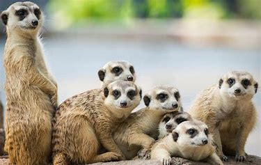 Image result for images of meerkats
