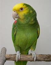 Image result for double yellow headed parrot