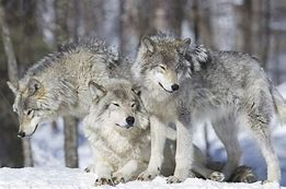 Image result for Three wolves pics