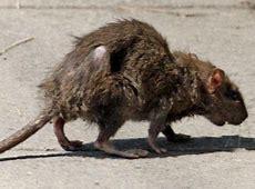 Image result for sewer rat