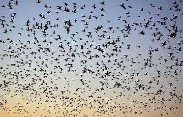 Image result for huge flock of birds