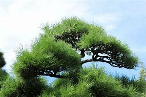 松 に対する画像結果