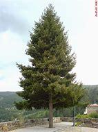 Image result for árvore pinheiro