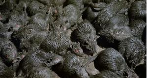 Image result for sewer rats