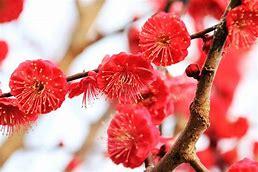 梅の花 に対する画像結果