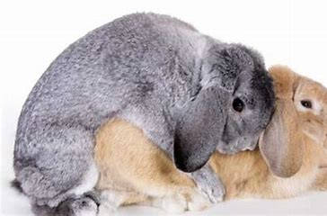 Image result for male rabbit mating behavior images