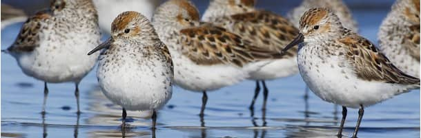 Western sandpipers on Bottle Beach in Washington state