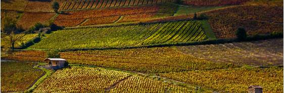 Vineyards near Beaujeu, France