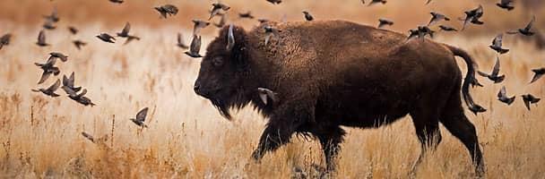 A bison preserve