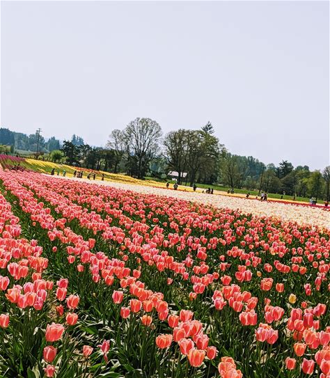 Learn more about Wooden Shoe Tulip Farm