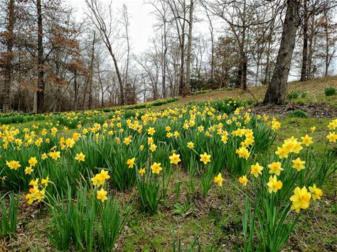 Learn more about Mrs. Lee's Daffodil Garden
