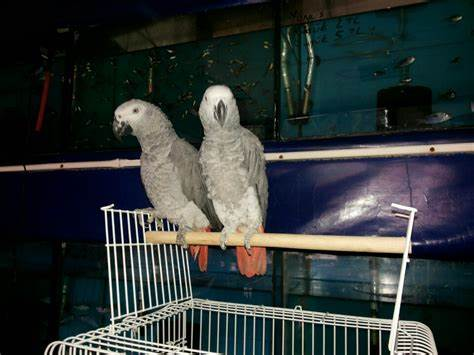 İkizgül pet shop   Şirintepe Mahallesi Söğütçü Sokak, Tepebasi/Eskişehir   +90 537 338 98 29