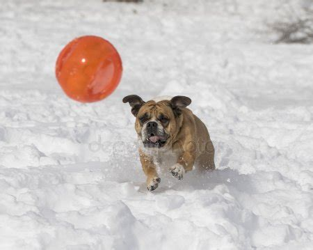 Bulldog Tries To Play With Ball In Deep Snow