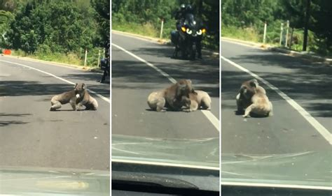 Wrestling Raccoons Cause Traffic Jam